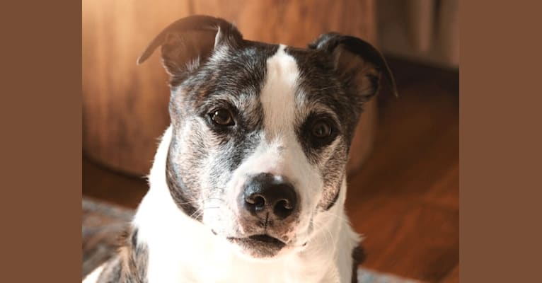 Photo of Kramer, an American Pit Bull Terrier, Boston Terrier, and Mixed mix