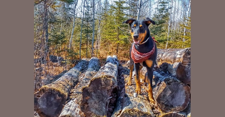 Photo of Hati, a Doberman Pinscher, German Shepherd Dog, and Australian Cattle Dog mix in Murillo, Ontario, Canada