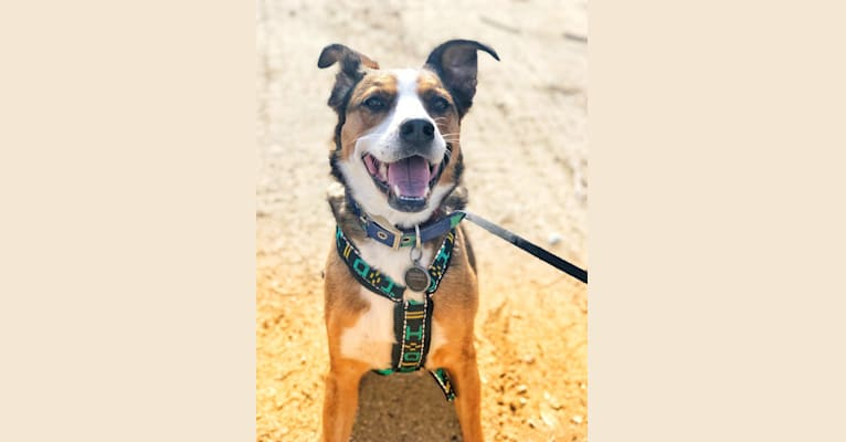 Photo of Sidney, an American Pit Bull Terrier, German Shepherd Dog, Chow Chow, Collie, and Mixed mix in Meriwether County, GA, USA
