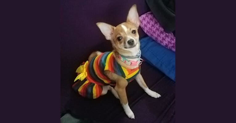 Photo of Beanie, a Chihuahua, Poodle (Small), and Mixed mix in Modesto, California, USA