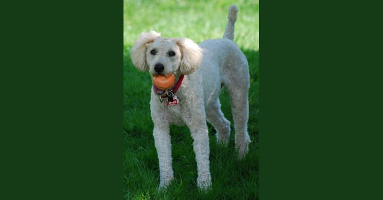 Photo of Fig, a Soft Coated Wheaten Terrier, Miniature Schnauzer, and Shetland Sheepdog mix in Guelph, ON, Canada