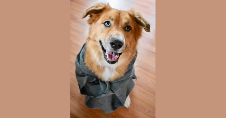 Photo of Remy, a Siberian Husky, Shetland Sheepdog, Boxer, and German Shepherd Dog mix