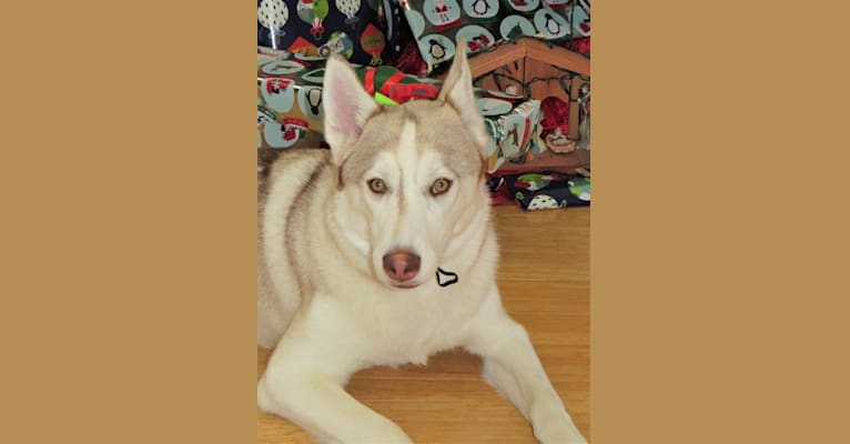 Photo of Kody Chasky, a Siberian Husky and American Pit Bull Terrier mix in Texas, USA