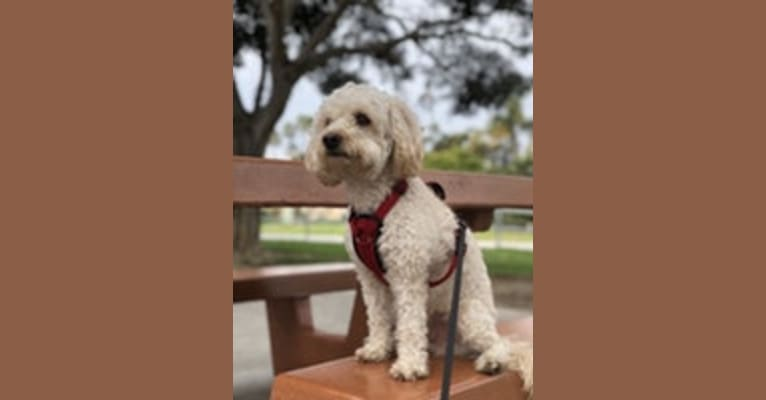 Photo of Emerson, a Poodle (Small), Maltese, and Yorkshire Terrier mix in San Diego, California, USA