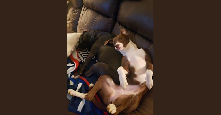 Photo of Shea, a Chow Chow, Labrador Retriever, Golden Retriever, German Shepherd Dog, and Mixed mix in Concord, NC, USA