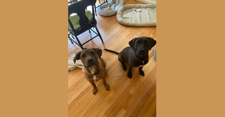Photo of Lelo, an American Pit Bull Terrier, Golden Retriever, American Staffordshire Terrier, and Labrador Retriever mix in Virginia, USA