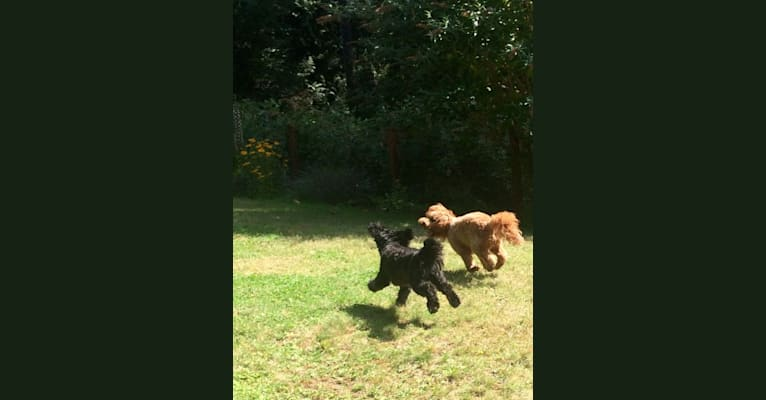 Photo of Moe, a Poodle (Small), Bichon Frise, and Chihuahua mix in Bonney Lake, Washington, USA