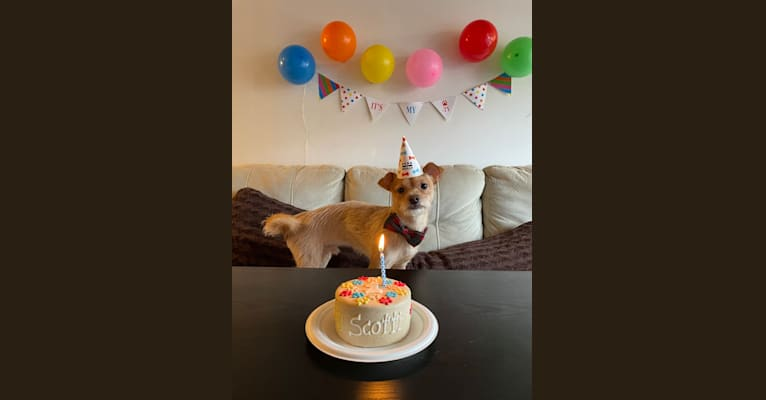 Photo of Biscotti, a Chihuahua, Yorkshire Terrier, Poodle (Small), Miniature Schnauzer, Silky Terrier, and Mixed mix in New York, New York, USA