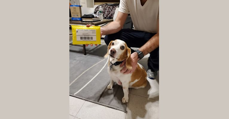 Photo of Tucker, a Beagle  in Virginia, USA