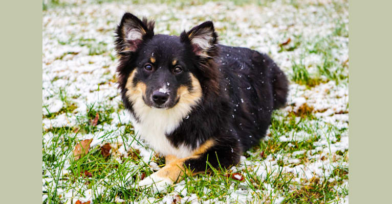 Photo of Hrefna, an Icelandic Sheepdog  in Indianapolis, IN, USA