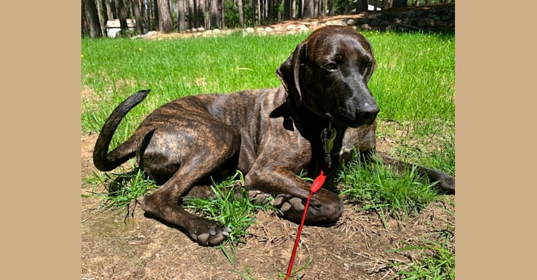 Photo of Braxton, a Mountain Cur  in Hazard, KY, USA