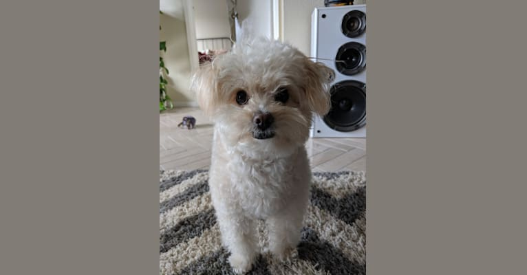 Photo of Kevin, a Poodle (Small), Chihuahua, and Mixed mix in Hayward, CA, USA