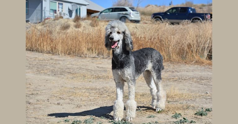 Photo of Dyna, a Poodle (Standard)  in Las Vegas, NV, USA