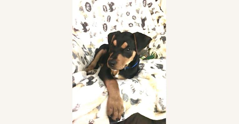 Photo of Bourbon, an American Bulldog and Doberman Pinscher mix in Los Angeles, California, USA