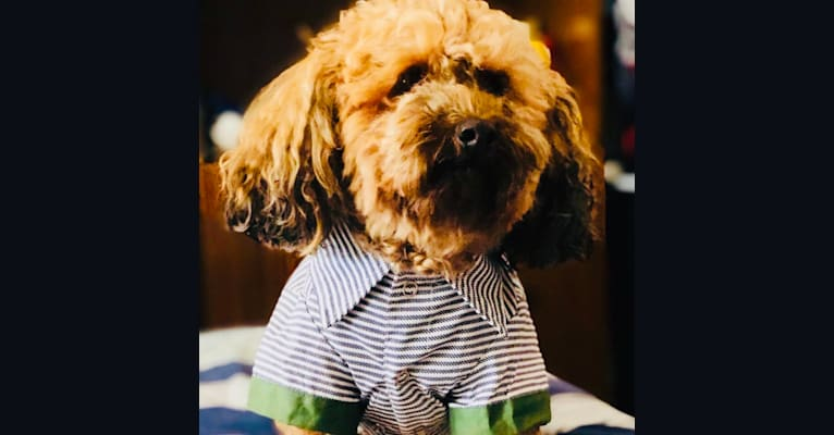 Photo of Teddy, a Poodle (Small)  in New South Wales, Australia