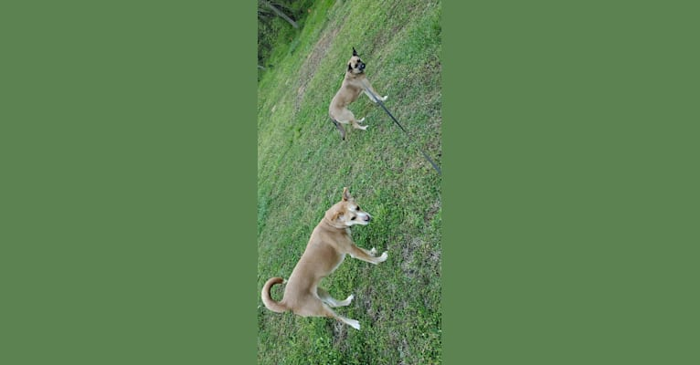Photo of Lilly, a Boxer, Chow Chow, Siberian Husky, and German Shepherd Dog mix in Ekron, Kentucky, USA