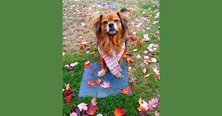 Photo of Harvey, a Papillon, Pug, Beagle, and Mixed mix in Ashtabula, Ohio, USA