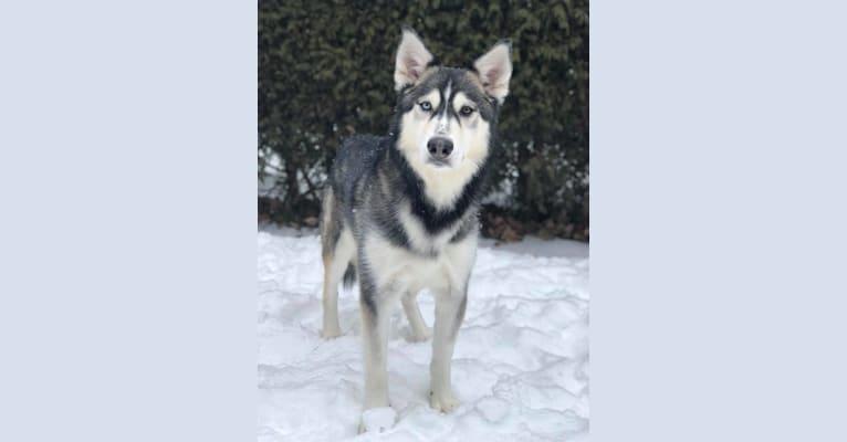 Photo of Kato, a Siberian Husky and Alaskan Malamute mix in Ottawa, Ontario, Canada