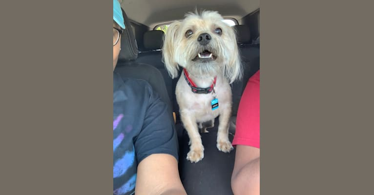 Photo of Saban, a Lhasa Apso, Boston Terrier, Brussels Griffon, and Maltese mix in Macon, Georgia, USA