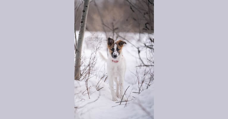 Photo of Bella, a Border Collie, Whippet, and Border Terrier mix in Edson, AB, Canada