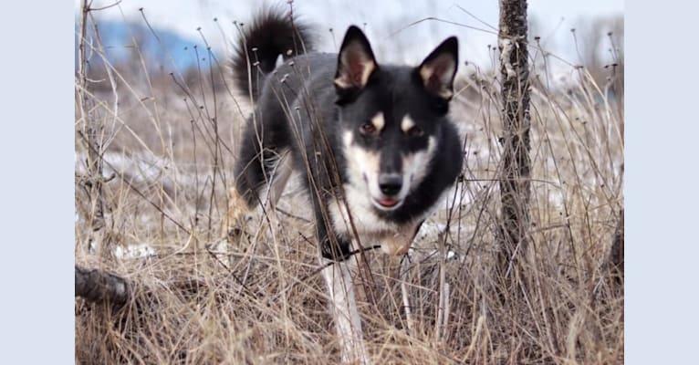 Photo of Koda, a Karelian Bear Dog and Laika mix in Kitimat, BC, Canada