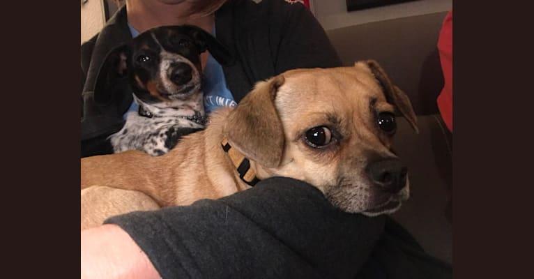 Photo of PITA, a Pug, Chihuahua, Shih Tzu, Beagle, Boston Terrier, and Mixed mix in Perrysburg, Ohio, USA