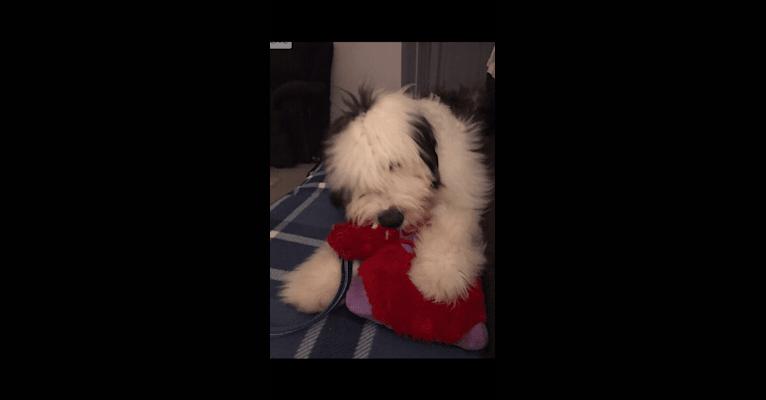 Photo of Buddy, an Old English Sheepdog