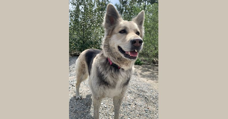 Photo of Lola, a German Shepherd Dog, Siberian Husky, Alaskan Malamute, and Bouvier des Flandres mix in Squamish, British Columbia, Canada