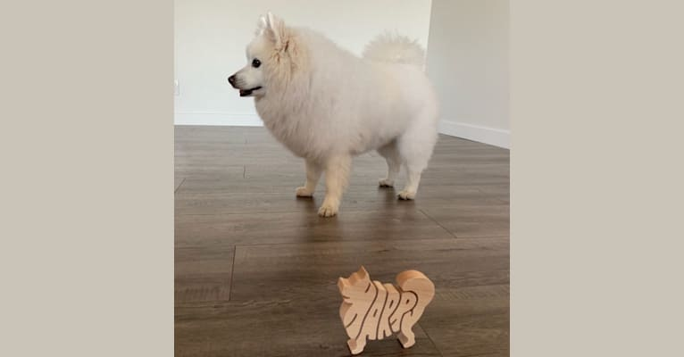 Photo of Harry 哈利, an American Eskimo Dog, Pomeranian, and Mixed mix in Canada