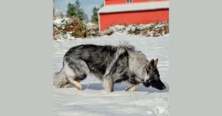 Photo of Ravyn, a Shiloh Shepherd  in West Virginia, USA