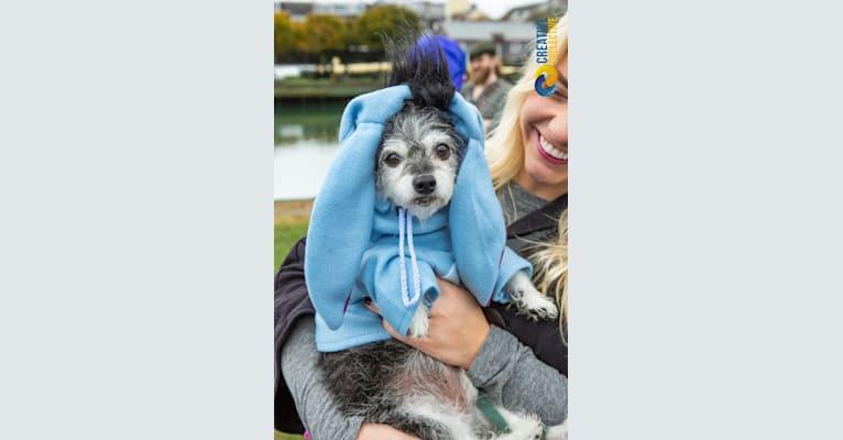 Photo of Max, a Bichon Frise and Chihuahua mix in Boston, Massachusetts, USA