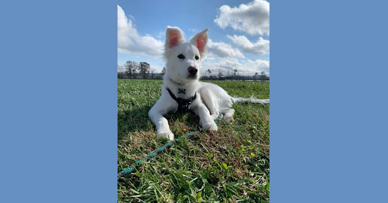 Photo of Bao, a Siberian Husky, Poodle (Small), and Mixed mix in Asheville, North Carolina, USA