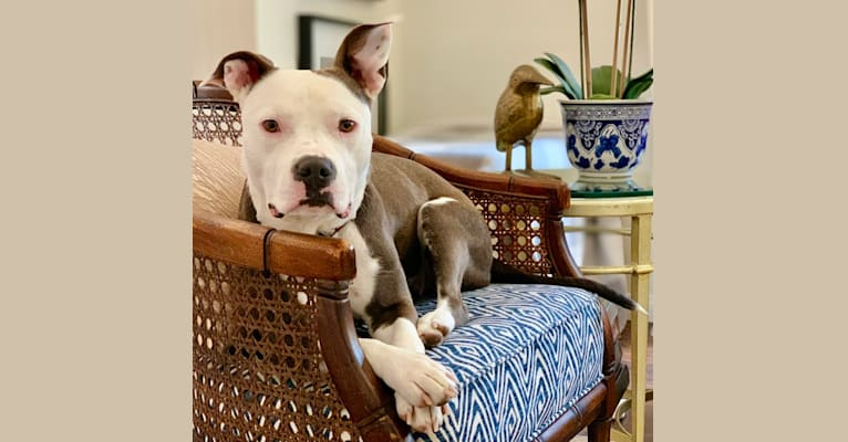 Photo of Lily, an American Bully and American Staffordshire Terrier mix in Bakersfield, California, USA