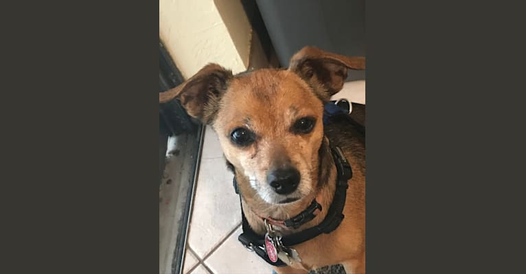 Photo of Tito, a Chihuahua and Miniature Pinscher mix in West Palm Beach, Florida, USA