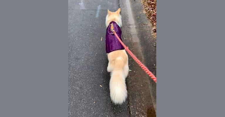 Photo of Roo (Kangaroo), a Siberian Husky and American Pit Bull Terrier mix in Atlanta, Georgia, USA