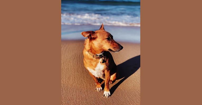 Photo of Pepper, a Russell-type Terrier, Australian Cattle Dog, Australian Kelpie, German Shepherd Dog, and Mixed mix in Sunshine, Victoria, Australia
