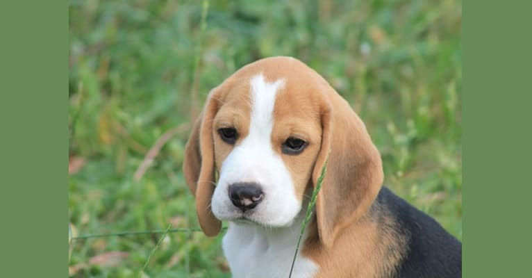 Photo of ILY, a Beagle  in Thunder Bay, ON, Canada