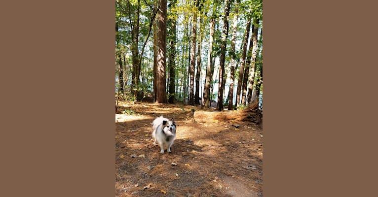 Photo of Gus, a Pomeranian, Shetland Sheepdog, Cocker Spaniel, American Eskimo Dog, and Mixed mix in Waltham, Massachusetts, USA