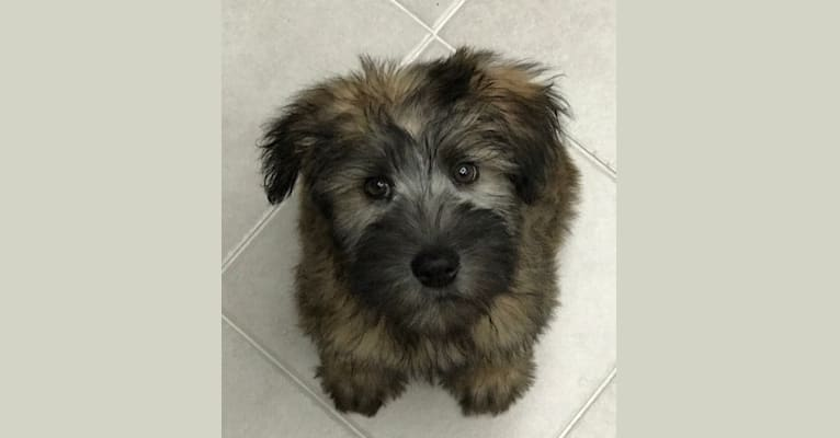Photo of Lily, a Soft Coated Wheaten Terrier