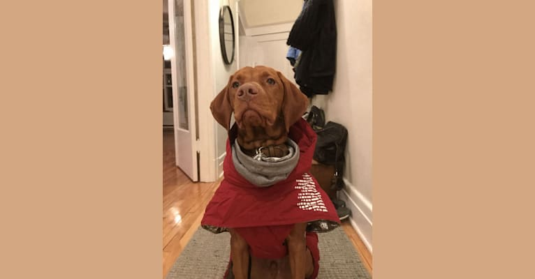 Photo of Data, a Vizsla