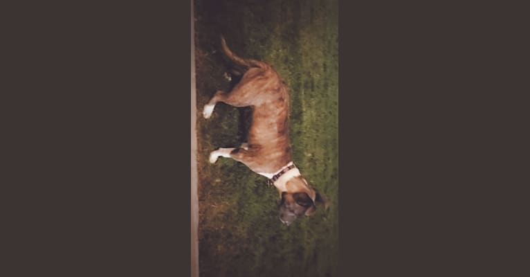 Photo of SAINT, an American Pit Bull Terrier and American Staffordshire Terrier mix in Dallas, Texas, USA