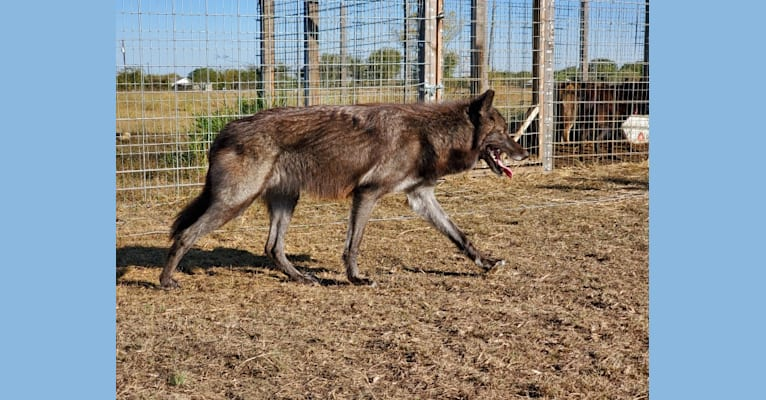 Photo of Cassie, a   in Wolves-Usa, Hart, TX, USA