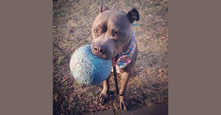 Photo of Titan, an American Pit Bull Terrier and American Staffordshire Terrier mix in South Carolina, USA