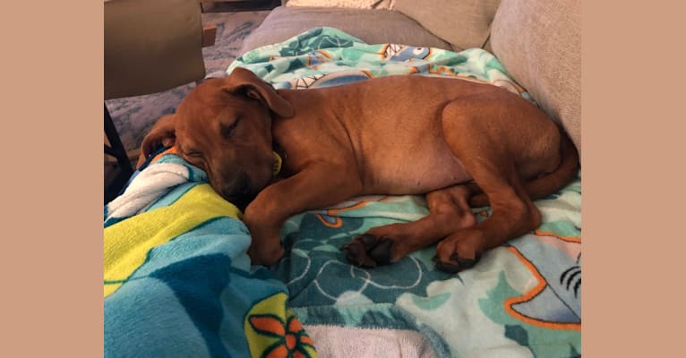 Photo of Bailey, an American Pit Bull Terrier, Chinese Shar-Pei, and American Staffordshire Terrier mix in San Antonio, Texas, USA
