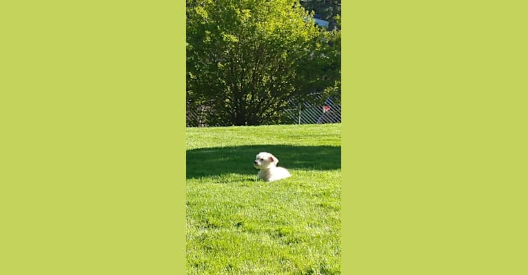 Photo of Cooper, a Miniature Pinscher, Chihuahua, Poodle (Small), Pomeranian, and Mixed mix in Redlands, CA, USA