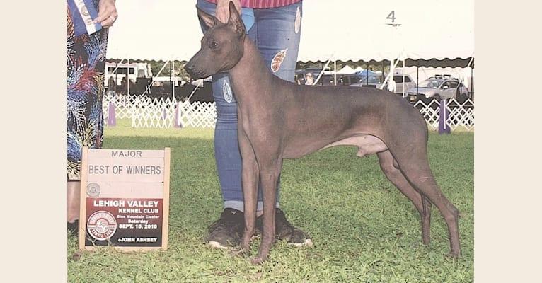 Photo of Murtagh, a Xoloitzcuintli  in Wilmington, DE, USA