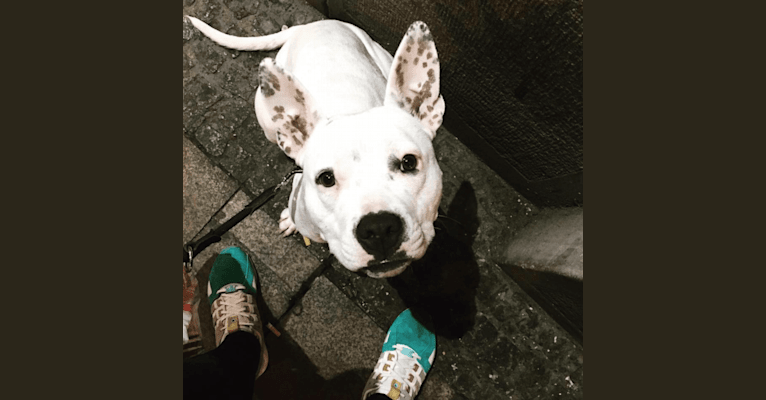 Photo of Dotty, an American Staffordshire Terrier and American Bulldog mix
