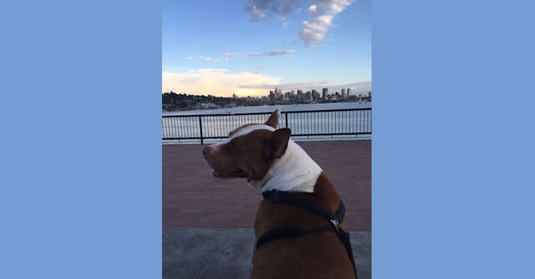 Photo of Dutches, an American Pit Bull Terrier and American Bully mix in New York, USA