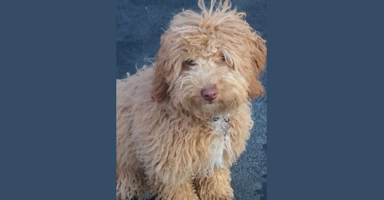 Photo of Buster, a Poodle (Small)  in Pasadena, California, USA