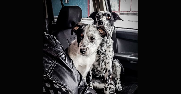 Photo of Rowdy, an Australian Cattle Dog, Border Collie, and Australian Shepherd mix in Scottsbluff, Nebraska, USA